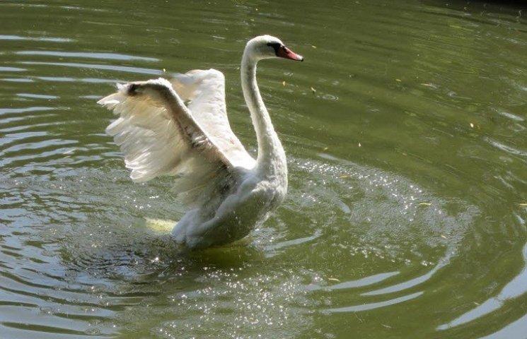 """Шалені пристрасті: У лебедів в запорізькому парку виник """"любовний трикутник"""" (ФОТОРЕПОРТАЖ)"""