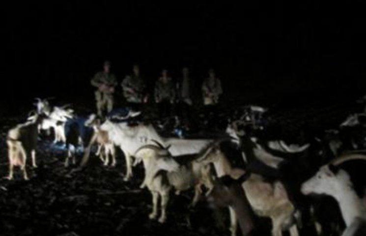 Пограничники не пустили на Россию полсотни украинских коз
