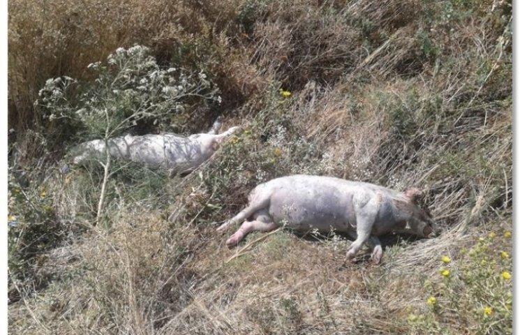 """Возле трассы """"Днепр - Николаев"""" нашли трупы свиней с подозрением на """"африканку"""""""