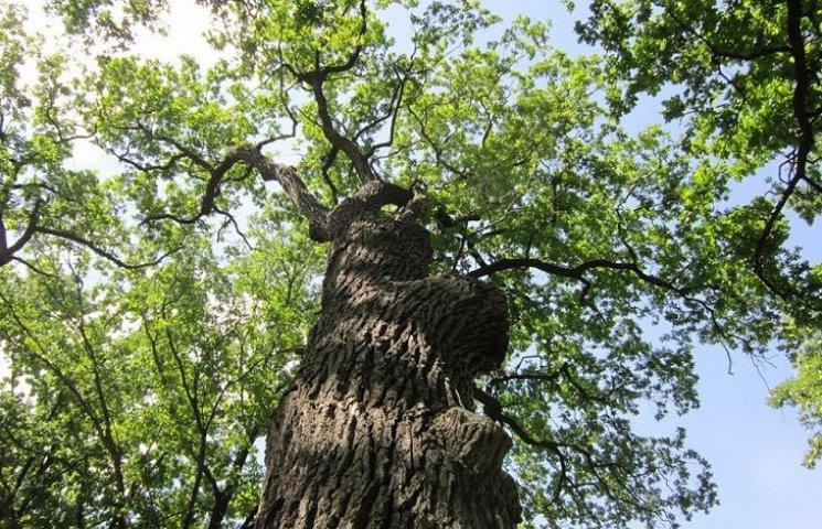 Історія України міцно переплетена з гілками стародавніх запорізьких дубів