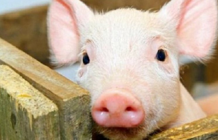 Картинки по запросу чума свиней