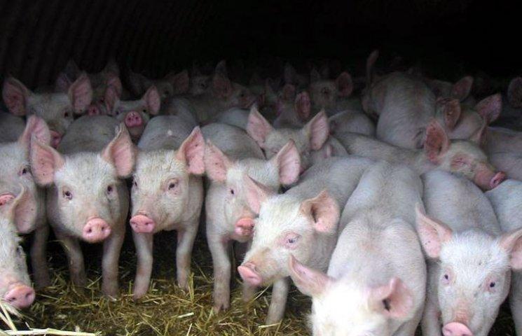 """На Полтавщині спалили """"чумних"""" свиней"""