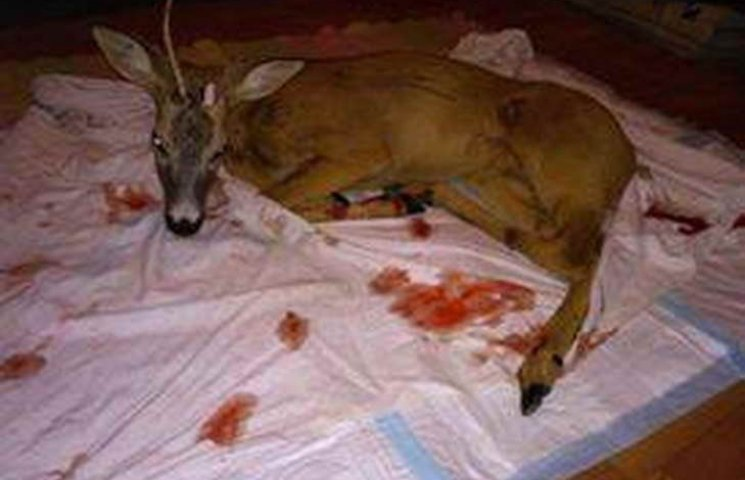 На Хортиці автівка збила косулю – тварина загинула