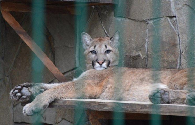 В Николаевском зоопарке отравили пуму и снежного барса