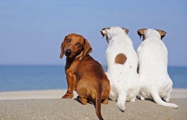 Собака на мільйон: На Росії туристи загубили собаку з діамантами в нашийнику