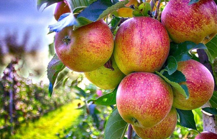 Чому восьмого серпня замість яблук краще з'їсти картоплю з оселедцем
