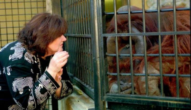 Умный орангутанг: Что умела делать и как говорила самая умная обезьяна в мире
