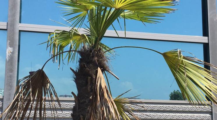 На російському курорті спека вбиває пальми та газон