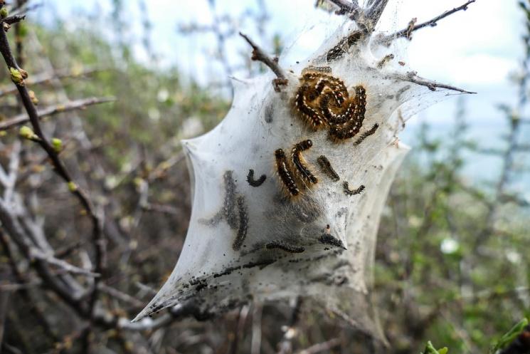 У Сочі зняли на камеру нашестя гусені: Дерева огорнула сіра павутина