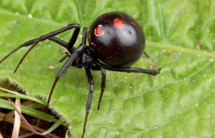 У Миколаєві лікарі врятували жінку після укуса отруйного павука