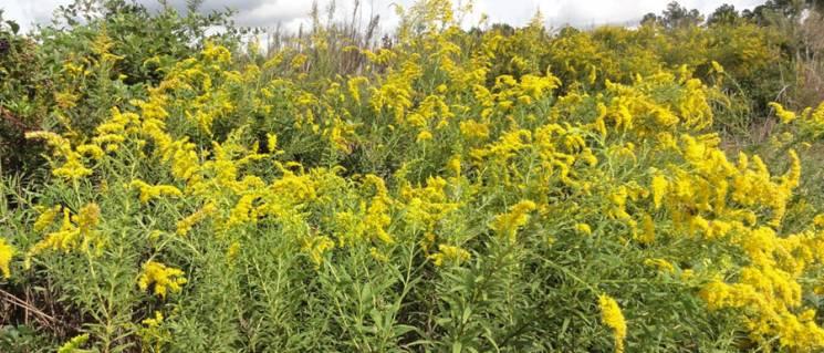 Амброзії бій: Як у Миколаєві знищують карантинну рослину