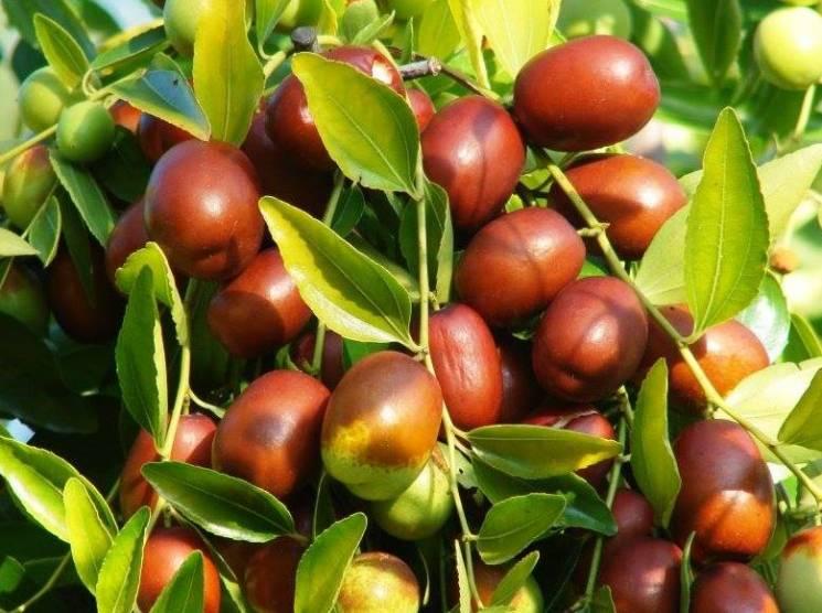 На Дніпропетровщині готуються збирати врожай фініків (ФОТО)
