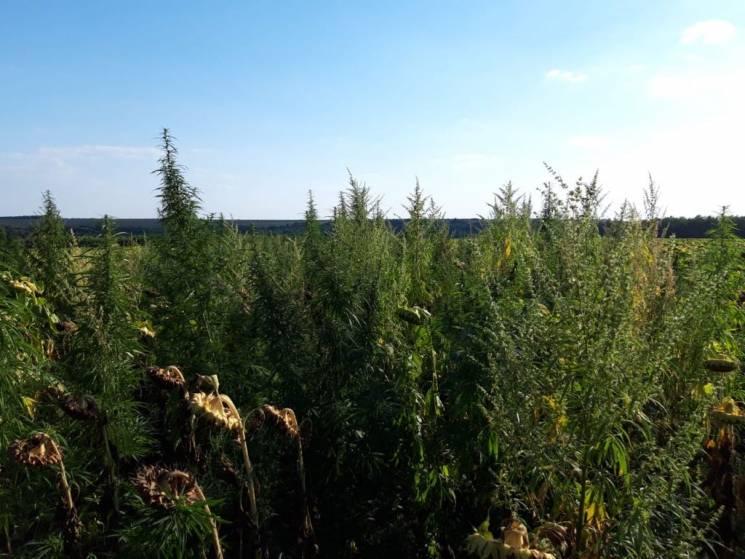 На Кропивниччині знайшли плантацію канабісу вартістю більше 3,5 млн грн (ФОТО, ВІДЕО)