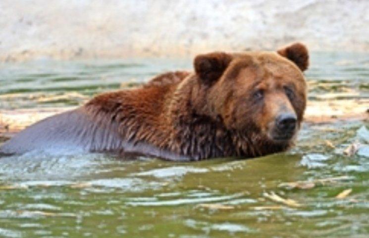На Закарпатті після реабілітації ведмідь Беня вперше впав у сплячку