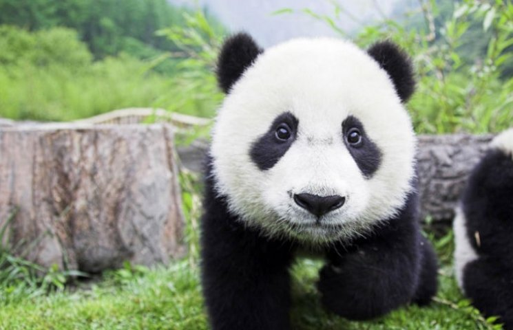 Чому кияни хочуть нацькувати Кличка на панд