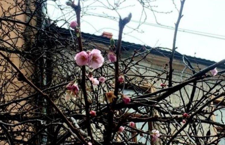 У Мукачеві диво-сакура уже втретє зацвіла взимку