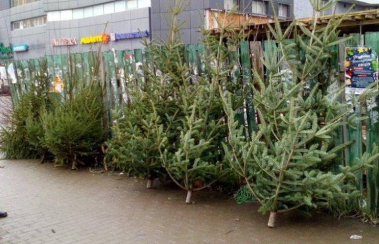 В Ужгороді переважну більшість ялинок продають без чіпів