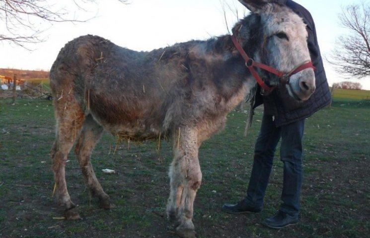 Різдвяне диво: як двох віслюків врятували від перетворення на ковбасу