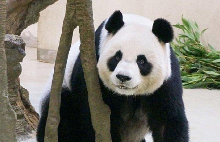 Як панда вдавала, що вагітна, щоб отримати першокласне обслуговування