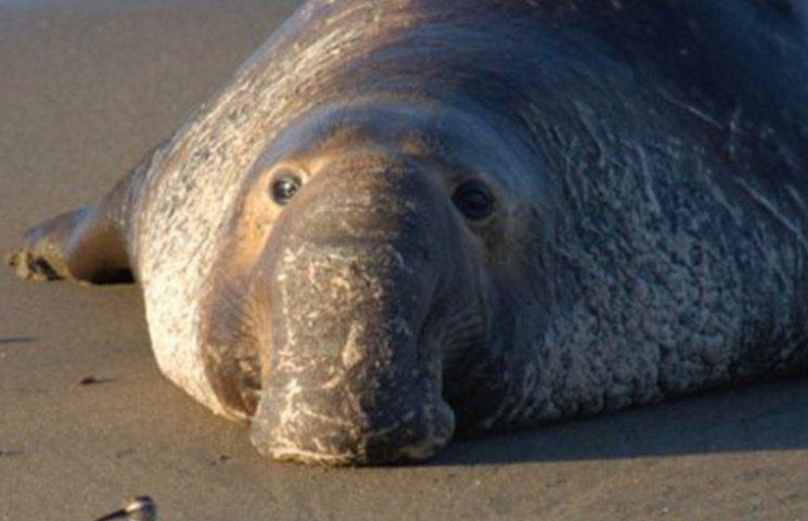 У Каліфорнії морський слон влаштував страйк на трасі