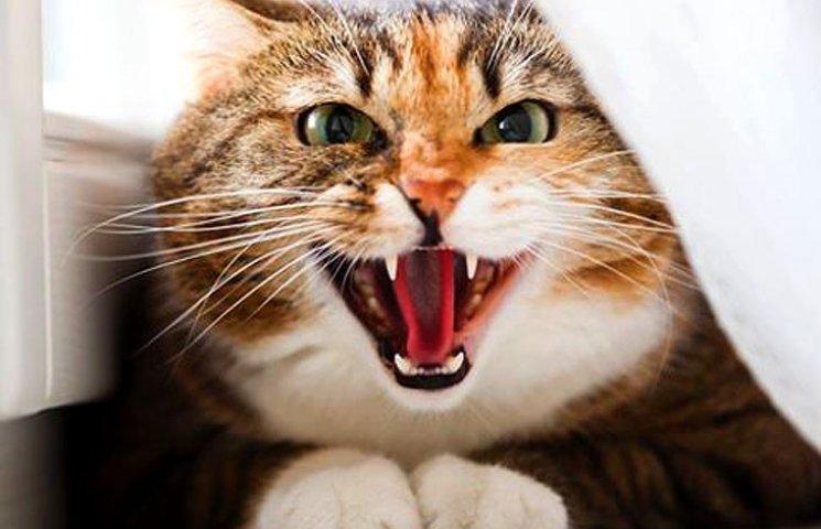 Pregnant cat behavior aggressive