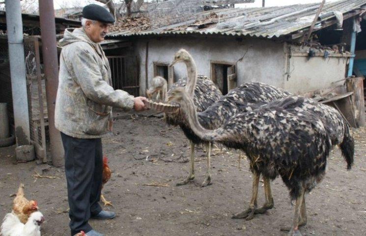 На сельском подворье жителя Винницкой области пасутся страусы, фазаны и дикая свинья