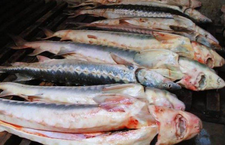 Стала відома вартість осетрового улову браконьєрів поблизу Бердянської коси