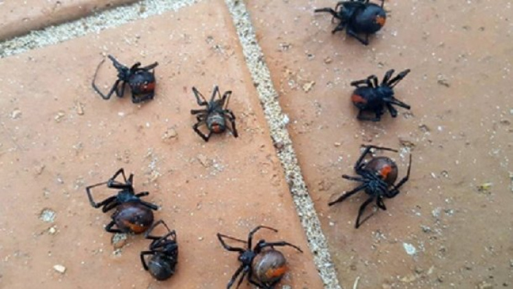 ВАвстралии выпал дождь изядовитых пауков