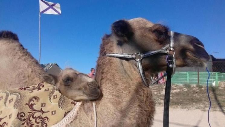 Жители Краснодара продают верблюда, енот…