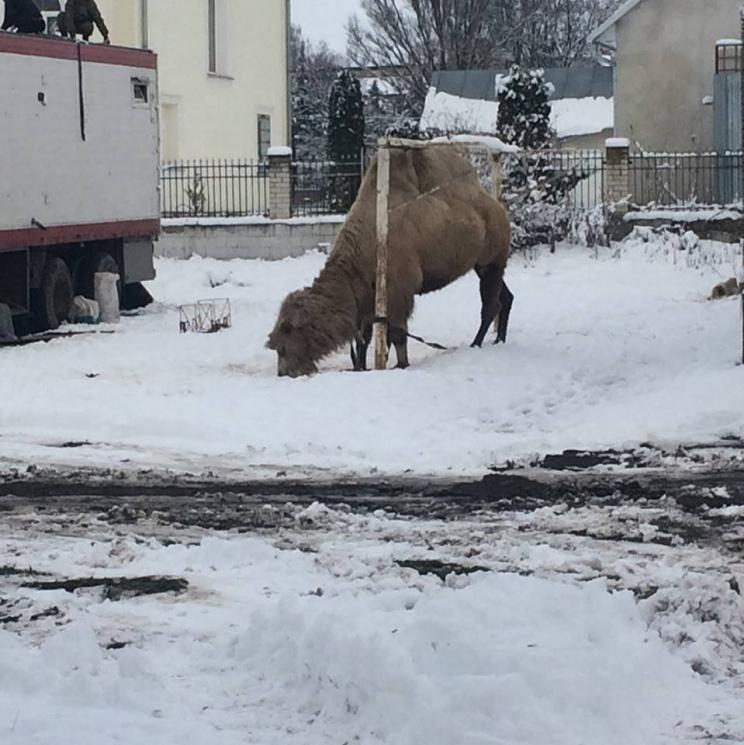 Цирк поїхав - верблюд лишився: У Тернополі в снігах розгулює двогорбий