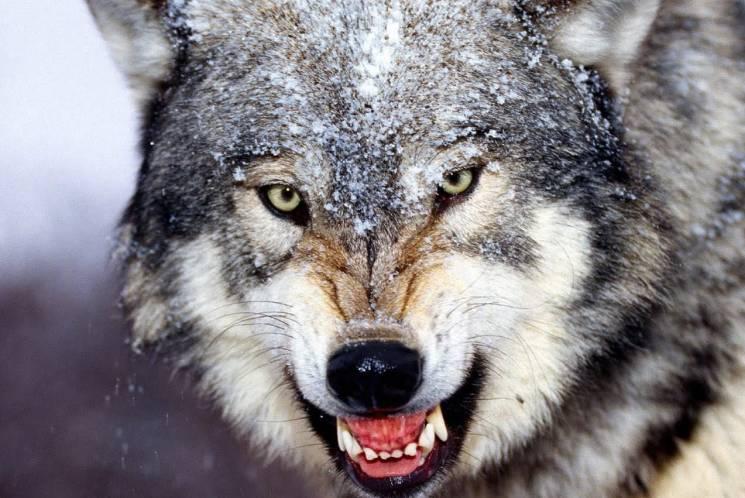 На Херсонщині скажений вовк напав на село