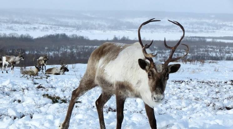 В горах Сочи откроют ферму северных олен…