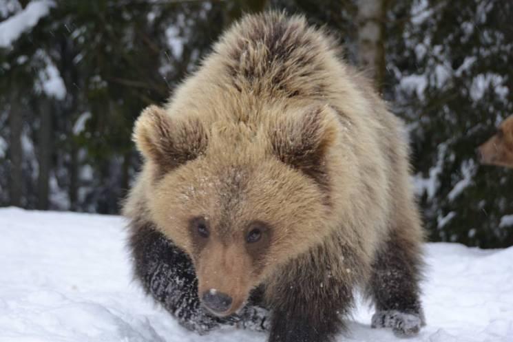 """Як у """"Синевирі"""" ведмеді і ведмежата радіють зимовій погоді"""