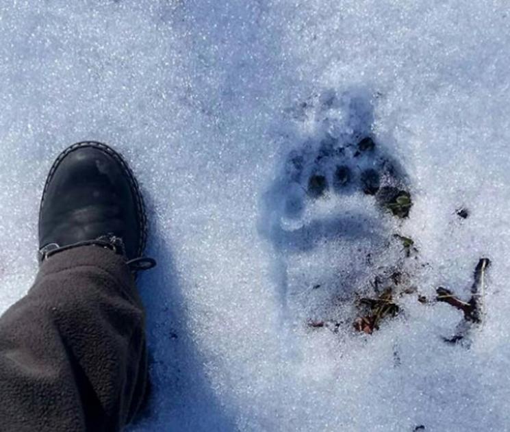 В Кавказькому заповіднику виявили сліди великого ведмедя