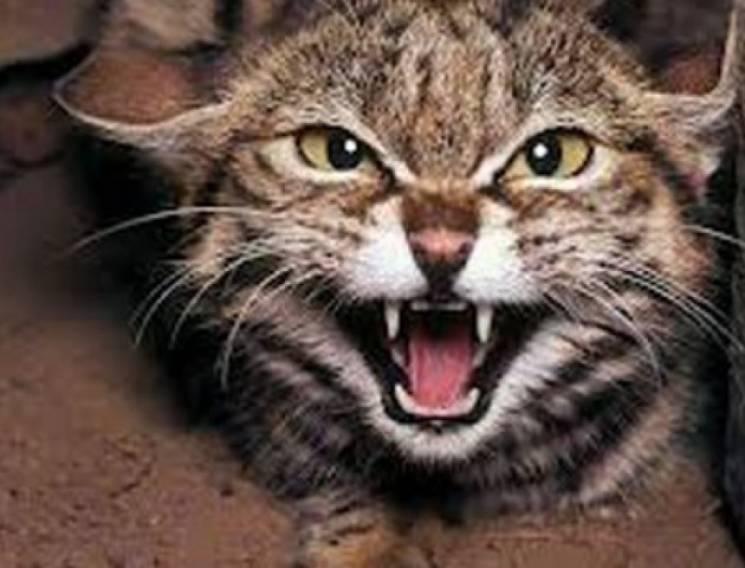 На Вінниччині ще один скажений кіт покусав господарів