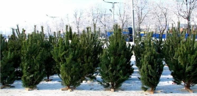 За різдвяним - ялинковий: Де у Хмельницькому можна купити новорічну красуню