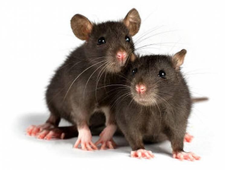 На одній зі столичних вулиць помітили цілу навалу пацюків (ВІДЕО)