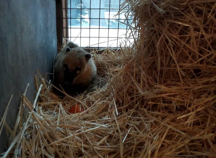 """У приватний зоопарк на Запоріжжі переїхали циркові """"пенсіонери"""": носуха, дикобрази, свинки (ФОТО)"""