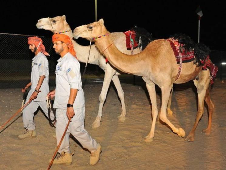 В ОАЕ з'явилися верблюжі поліцейські патрулі (ФОТО)