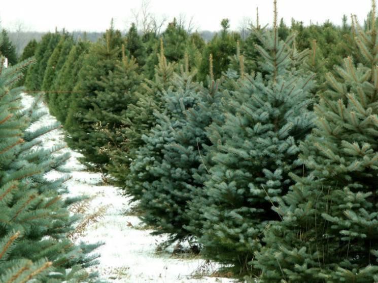 На Закарпатті до святкового сезону лісів…