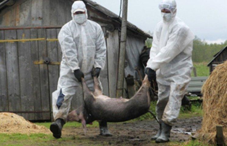 """""""Людське свинство"""" стало причиною розповсюдження африканської чуми свиней"""