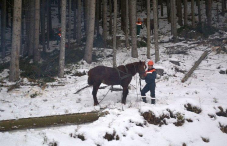 """Як на Закарпатті коні-""""гуцулики"""" допомогають лісівникам заготовляти деревину"""
