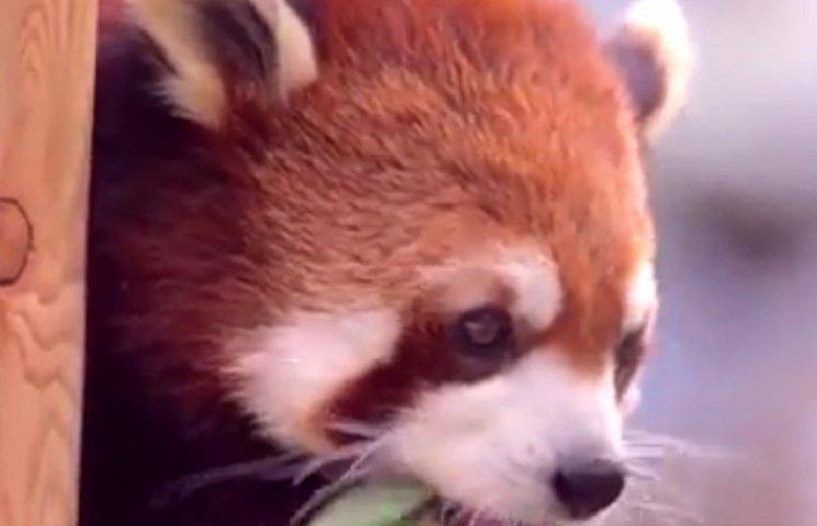 """Руки вверх: как красные панды играли в """"Казаков-разбойников"""""""