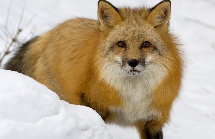 На Кам'янеччині відстріляли майже 800 хижих і шкідливих тварин