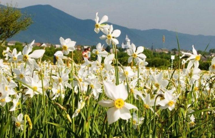 Закарпатська Долина нарцисів розквітне на початку травня