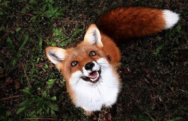 Рыжий лис, который живет в квартире, стал звездой Инстаграма