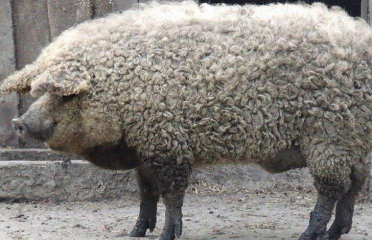 Як виглядає смачний гібрид свині з вівцею