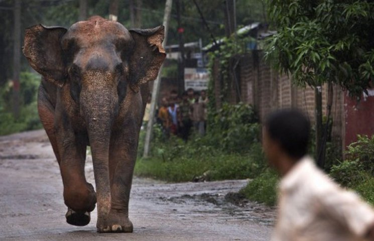 связи как слоны нападают на людей младше двух лет
