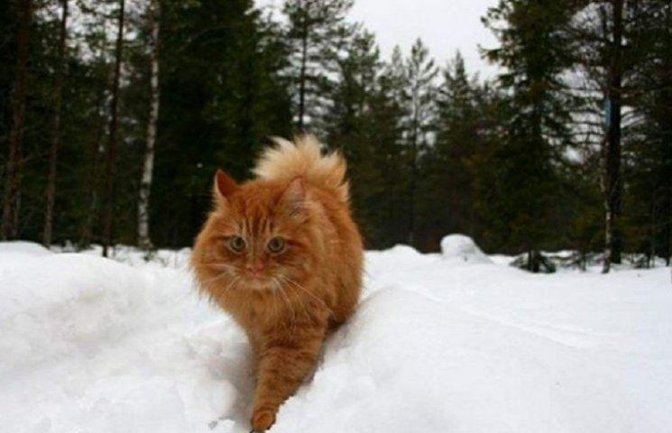 Як величезний кіт їздить на лижах по снігу