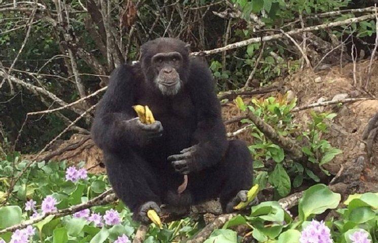 Як мавпа, яка три роки жила сама на острові, кинулася в обійми людині